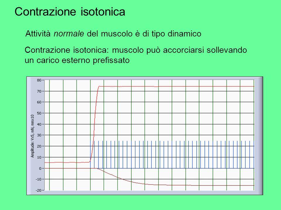 Contrazione isotonica: muscolo può accorciarsi sollevando un carico esterno prefissato Contrazione isotonica Attività normale del muscolo è di tipo di