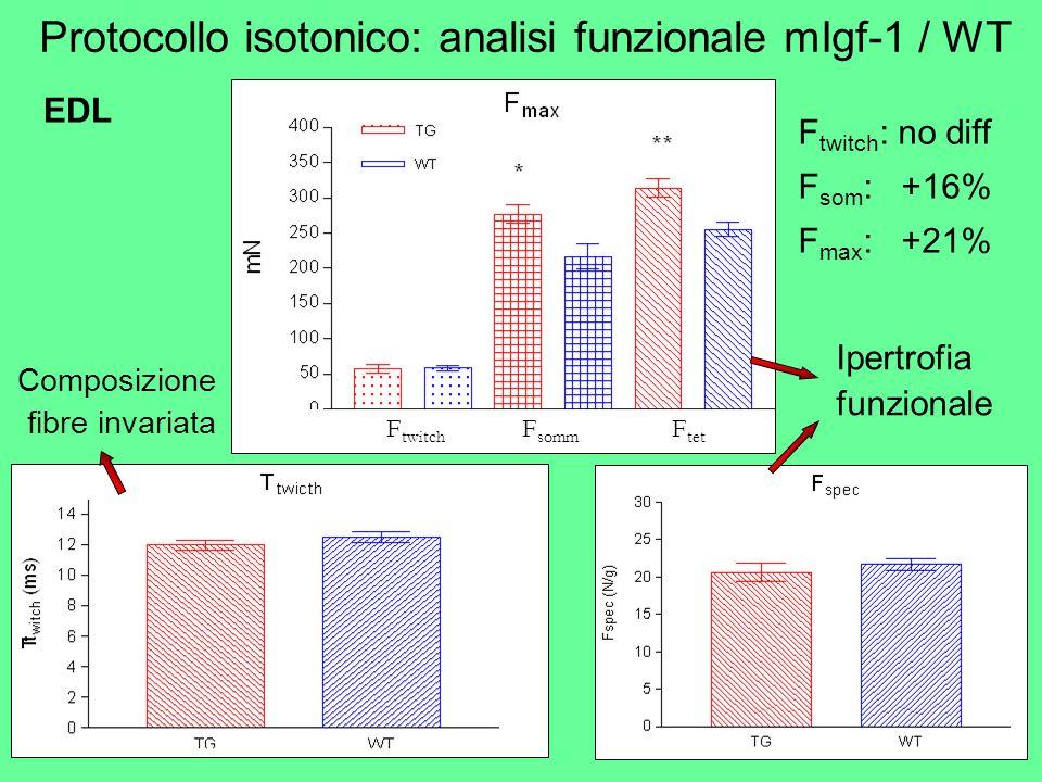 F twitch : no diff F som : +16% F max : +21% Composizione fibre invariata EDL F twitch F somm F tet Ipertrofia funzionale Protocollo isotonico: analis