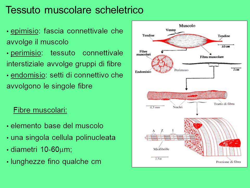 epimisio: fascia connettivale che avvolge il muscolo perimisio: tessuto connettivale interstiziale avvolge gruppi di fibre endomisio: setti di connett