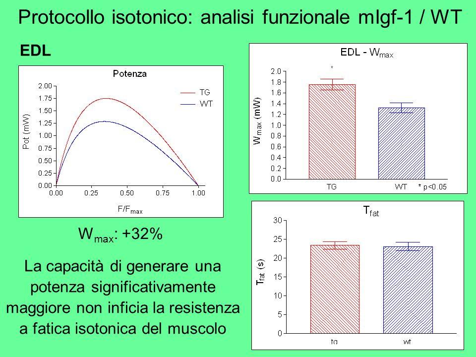W max : +32% La capacità di generare una potenza significativamente maggiore non inficia la resistenza a fatica isotonica del muscolo Protocollo isoto