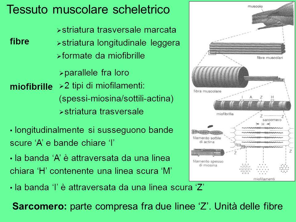 fibre striatura trasversale marcata striatura longitudinale leggera formate da miofibrille miofibrille parallele fra loro 2 tipi di miofilamenti: (spe