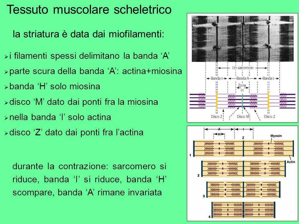 la striatura è data dai miofilamenti: i filamenti spessi delimitano la banda A parte scura della banda A: actina+miosina banda H solo miosina disco M