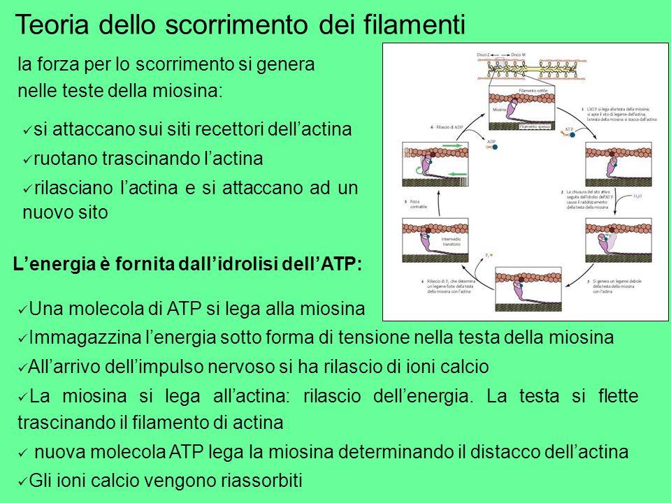 Una molecola di ATP si lega alla miosina Immagazzina lenergia sotto forma di tensione nella testa della miosina Allarrivo dellimpulso nervoso si ha ri
