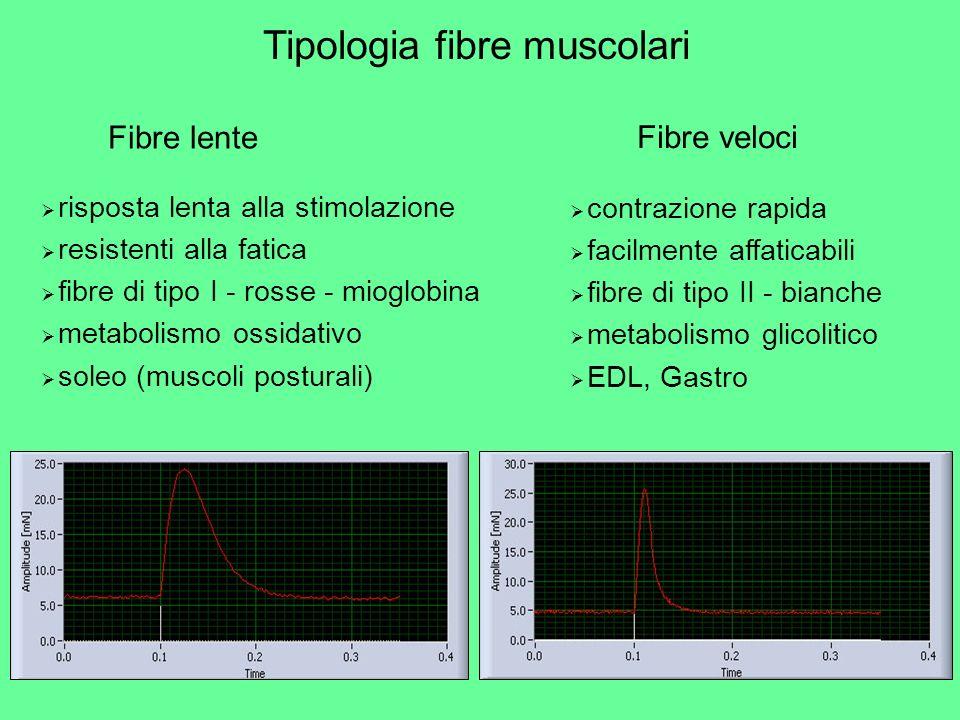Tipologia fibre muscolari Fibre lente risposta lenta alla stimolazione resistenti alla fatica fibre di tipo I - rosse - mioglobina metabolismo ossidat
