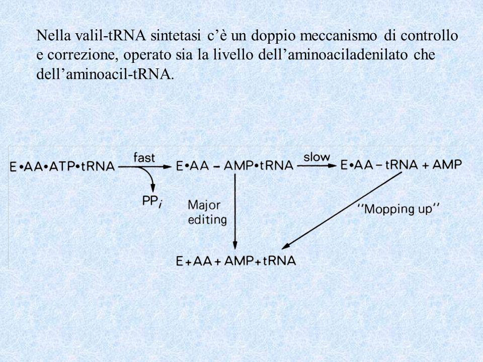 Nella valil-tRNA sintetasi cè un doppio meccanismo di controllo e correzione, operato sia la livello dellaminoaciladenilato che dellaminoacil-tRNA.