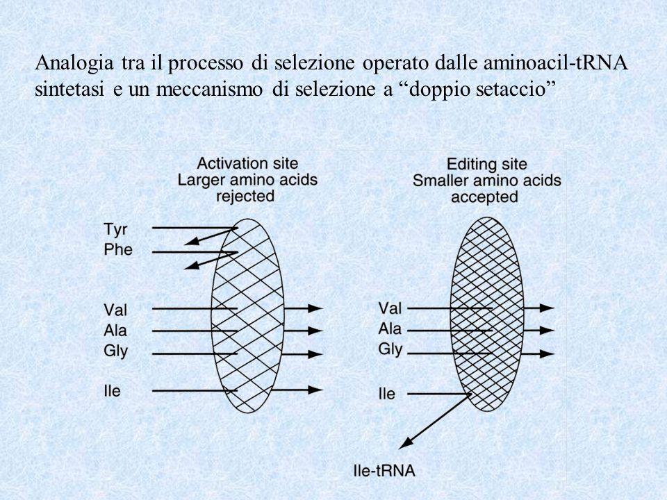 Analogia tra il processo di selezione operato dalle aminoacil-tRNA sintetasi e un meccanismo di selezione a doppio setaccio