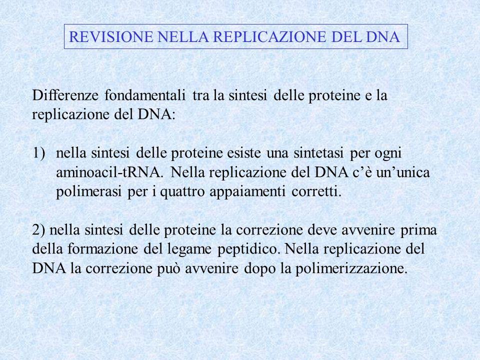 REVISIONE NELLA REPLICAZIONE DEL DNA Differenze fondamentali tra la sintesi delle proteine e la replicazione del DNA: 1)nella sintesi delle proteine e