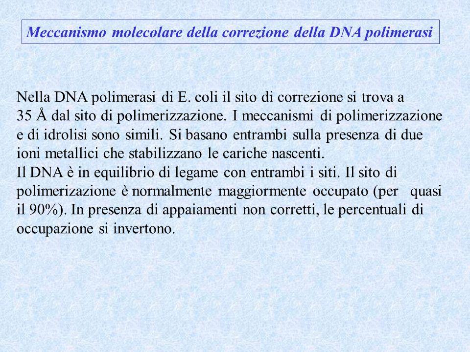 Meccanismo molecolare della correzione della DNA polimerasi Nella DNA polimerasi di E. coli il sito di correzione si trova a 35 Å dal sito di polimeri