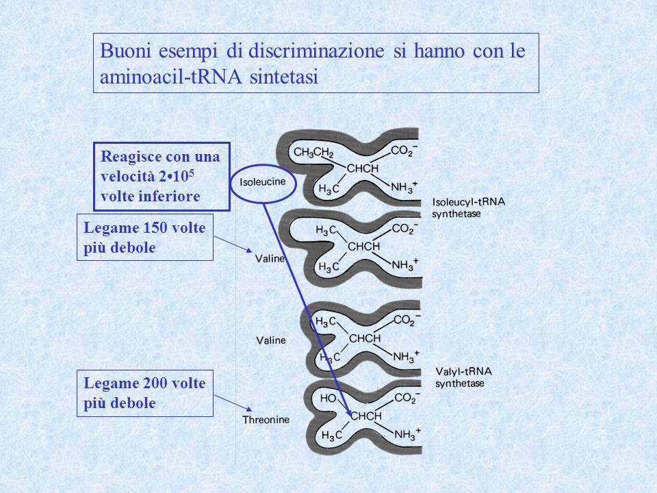 Buoni esempi di discriminazione si hanno con le aminoacil-tRNA sintetasi Legame 150 volte più debole Legame 200 volte più debole Reagisce con una velocità 210 5 volte inferiore