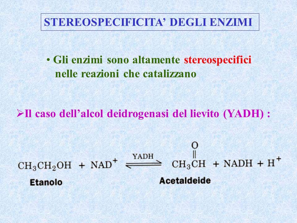STEREOSPECIFICITA DEGLI ENZIMI Gli enzimi sono altamente stereospecifici nelle reazioni che catalizzano Il caso dellalcol deidrogenasi del lievito (YA
