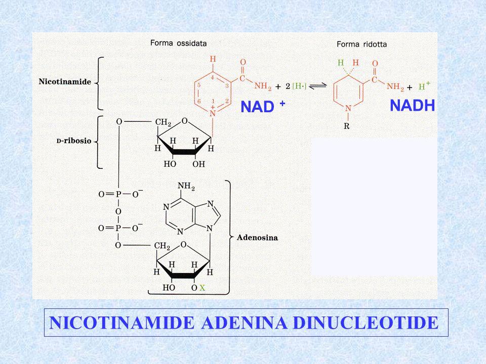 NICOTINAMIDE ADENINA DINUCLEOTIDE NAD + NADH