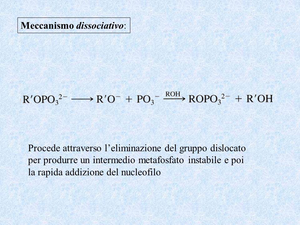 Meccanismo dissociativo: Procede attraverso leliminazione del gruppo dislocato per produrre un intermedio metafosfato instabile e poi la rapida addizi