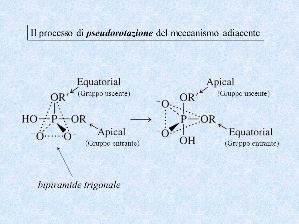 bipiramide trigonale Il processo di pseudorotazione del meccanismo adiacente (Gruppo entrante) (Gruppo uscente) (Gruppo entrante) (Gruppo uscente)