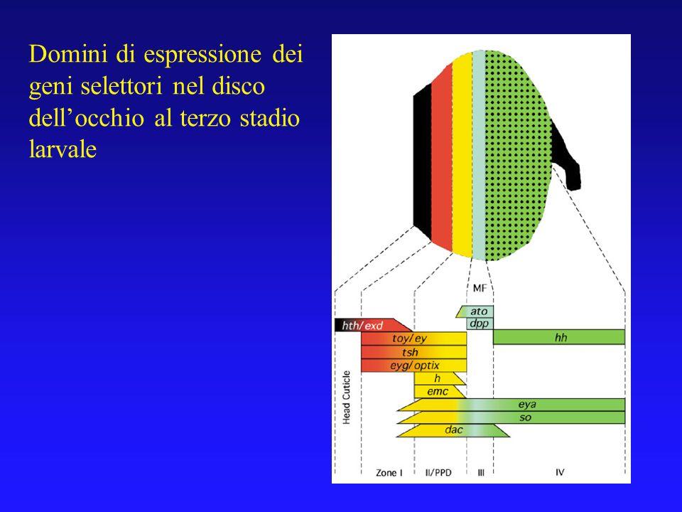 Domini di espressione dei geni selettori nel disco dellocchio al terzo stadio larvale