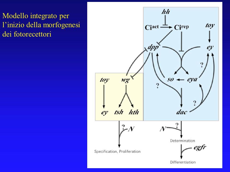Modello integrato per linizio della morfogenesi dei fotorecettori