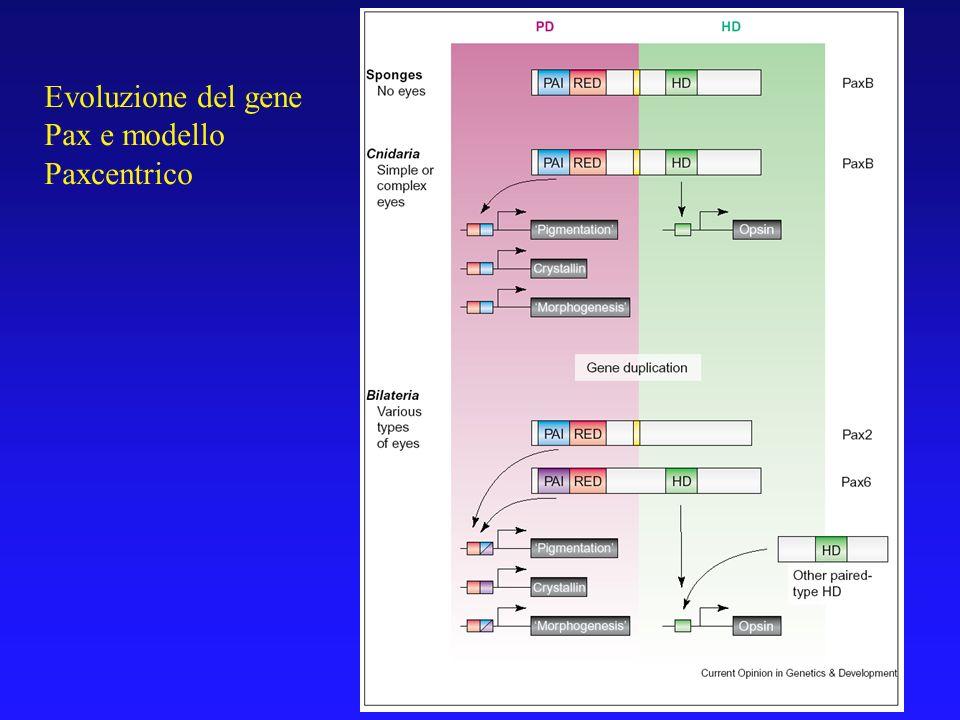 Evoluzione del gene Pax e modello Paxcentrico