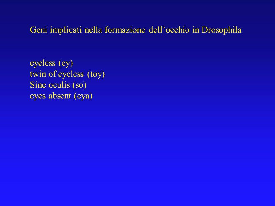 Geni implicati nella formazione dellocchio in Drosophila eyeless (ey) twin of eyeless (toy) Sine oculis (so) eyes absent (eya)