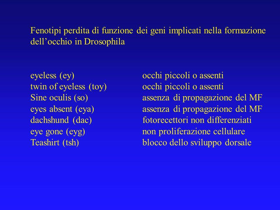 Fenotipi guadagno di funzione dei geni implicati nella formazione dellocchio in Drosophila eyeless (ey)occhi ectopici twin of eyeless (toy)occhi ectopici Sine oculis (so)assenza di occhi ectopici eyes absent (eya)tessuto oculare ectopico dachshund (dac)tessuto oculare ectopico eye gone (eyg)tessuto oculare ectopico teashirt (tsh)occhi ectopici optixocchi ectopici homothorax (hth)occhi ectopici in regioni adiacenti extradenticle (exd)occhi ectopici in regioni adiacenti