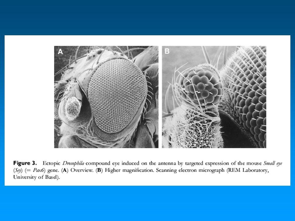 Induzione di occhi ectopici in embrioni di Xenopus con ey