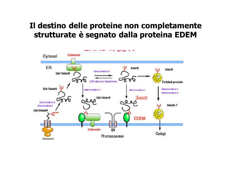 Il destino delle proteine non completamente strutturate è segnato dalla proteina EDEM