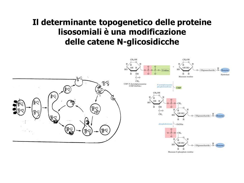 Il determinante topogenetico delle proteine lisosomiali è una modificazione delle catene N-glicosidicche