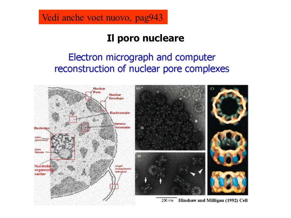Il poro nucleare Vedi anche voet nuovo, pag943
