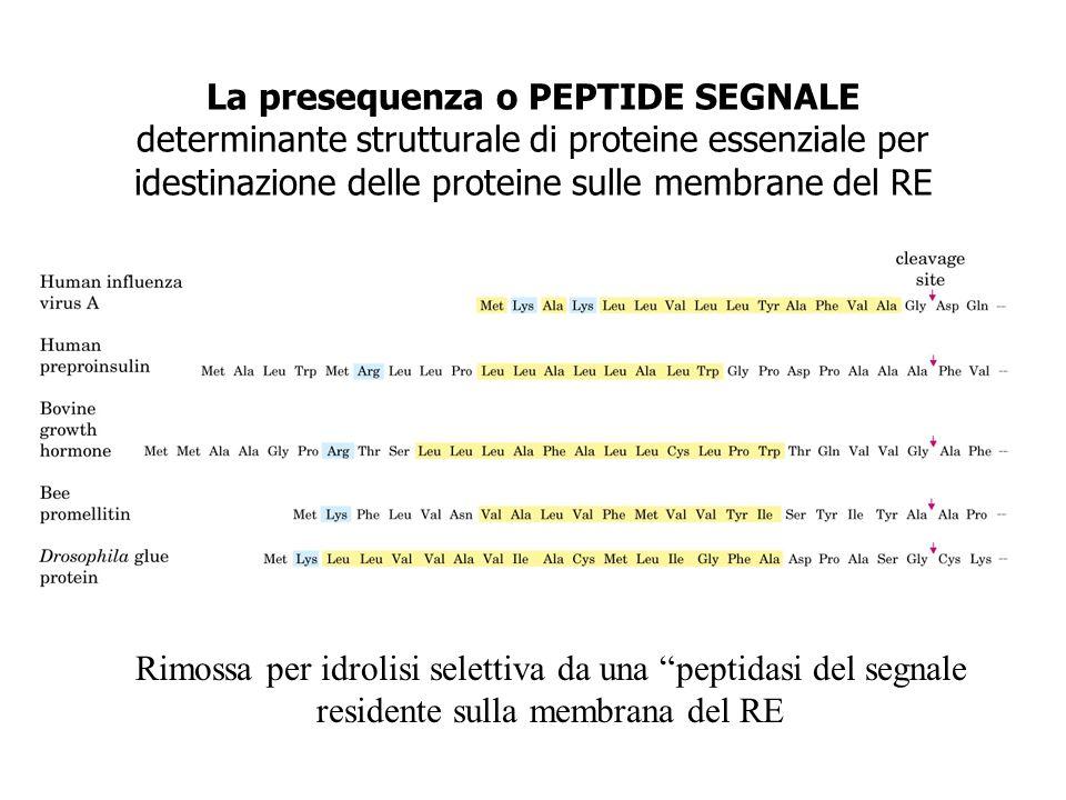 La presequenza o PEPTIDE SEGNALE determinante strutturale di proteine essenziale per idestinazione delle proteine sulle membrane del RE Rimossa per id