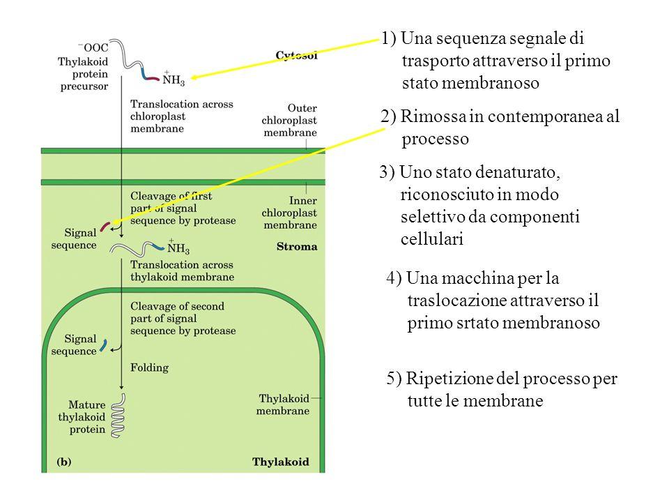 1) Una sequenza segnale di trasporto attraverso il primo stato membranoso 2) Rimossa in contemporanea al processo 3) Uno stato denaturato, riconosciut