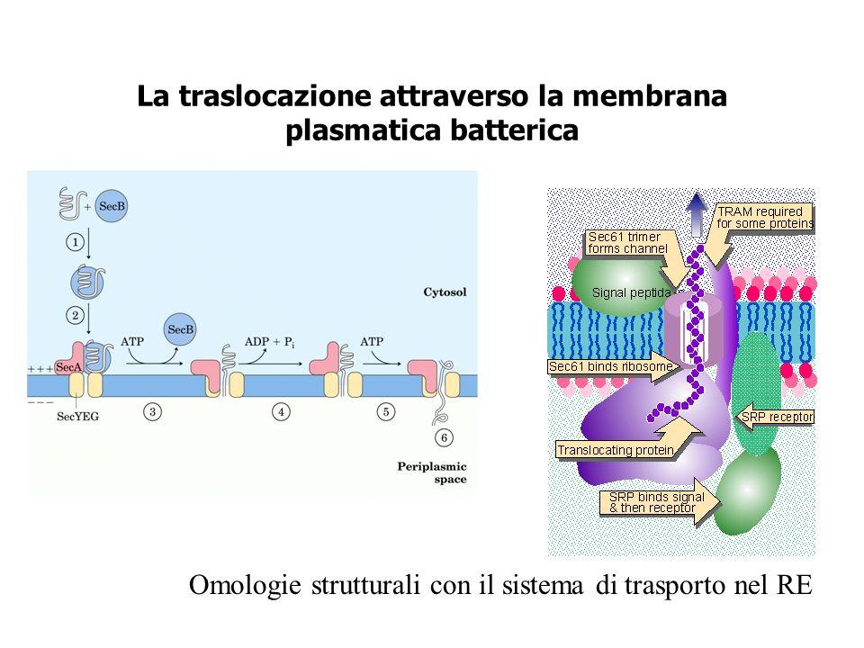 La traslocazione attraverso la membrana plasmatica batterica Omologie strutturali con il sistema di trasporto nel RE