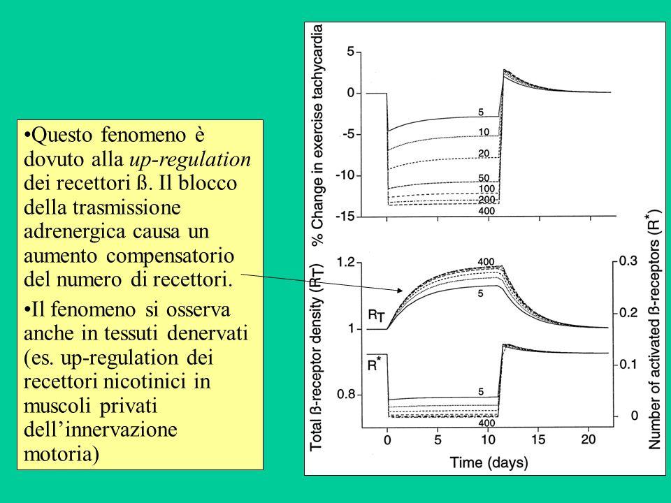 Questo fenomeno è dovuto alla up-regulation dei recettori ß. Il blocco della trasmissione adrenergica causa un aumento compensatorio del numero di rec