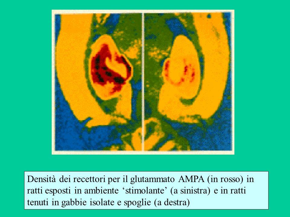 Densità dei recettori per il glutammato AMPA (in rosso) in ratti esposti in ambiente stimolante (a sinistra) e in ratti tenuti in gabbie isolate e spo