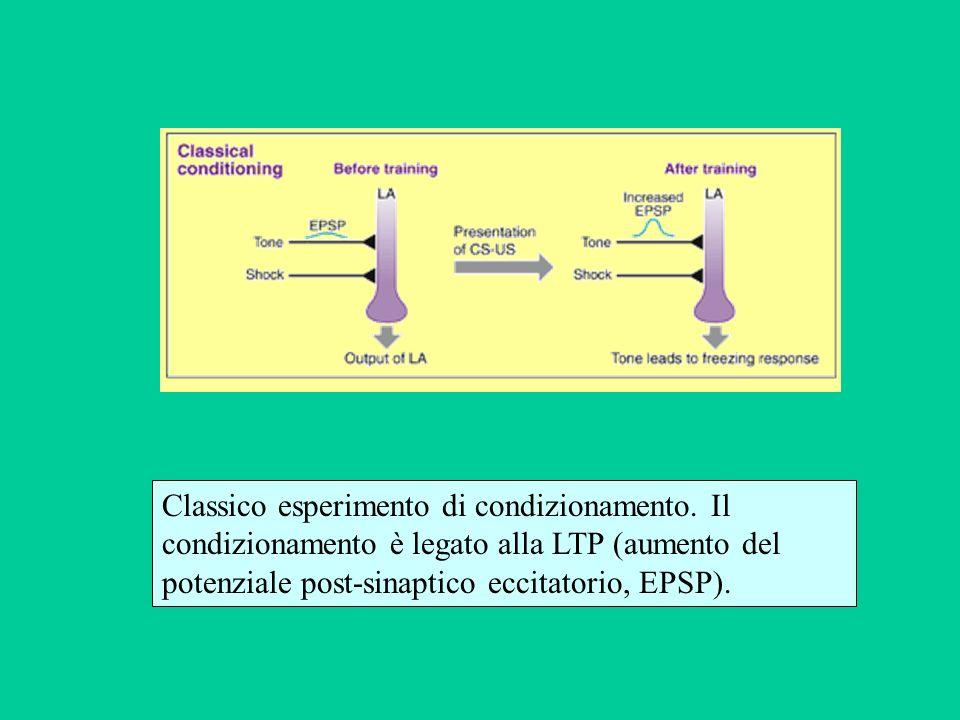 Classico esperimento di condizionamento. Il condizionamento è legato alla LTP (aumento del potenziale post-sinaptico eccitatorio, EPSP).