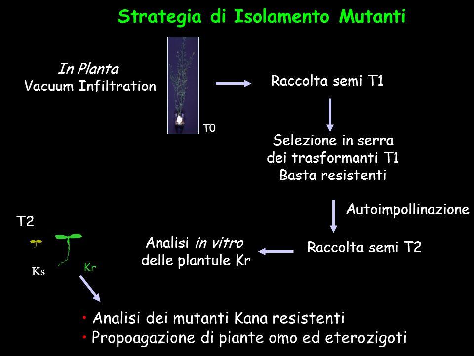 Strategia di Isolamento Mutanti Analisi dei mutanti Kana resistenti Propoagazione di piante omo ed eterozigoti T2 Raccolta semi T2 Analisi in vitro de