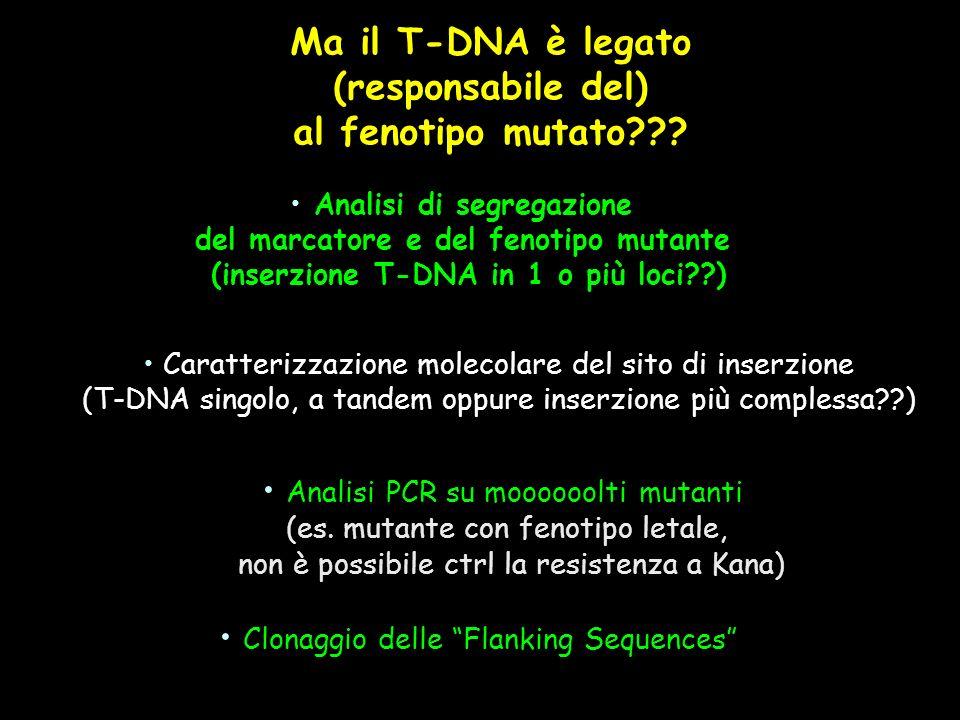 Analisi di segregazione del marcatore e del fenotipo mutante (inserzione T-DNA in 1 o più loci??) Caratterizzazione molecolare del sito di inserzione