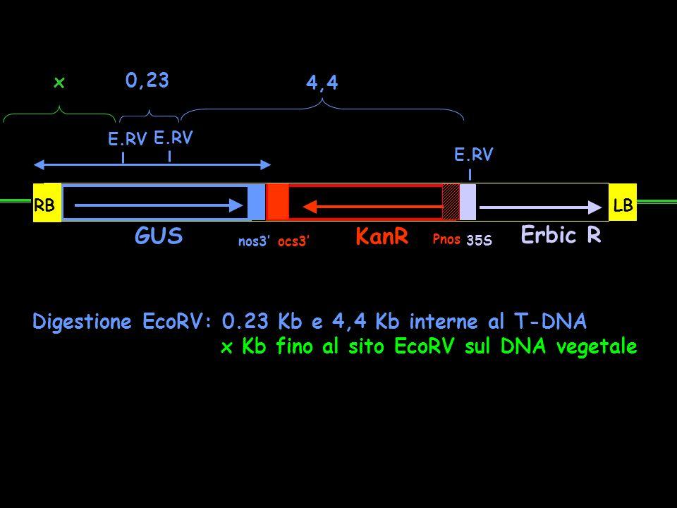 GUS nos3 ocs3 KanR Pnos Erbic R 35S RBLB E.RV 0,23 4,4 Digestione EcoRV: 0.23 Kb e 4,4 Kb interne al T-DNA x Kb fino al sito EcoRV sul DNA vegetale x
