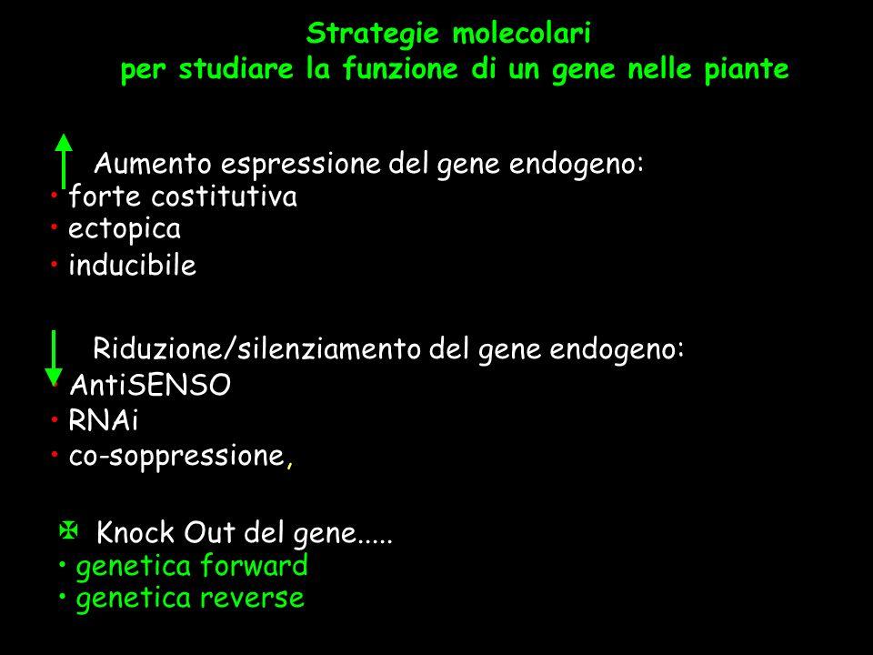 Strategie molecolari per studiare la funzione di un gene nelle piante X Knock Out del gene..... genetica forward genetica reverse Aumento espressione