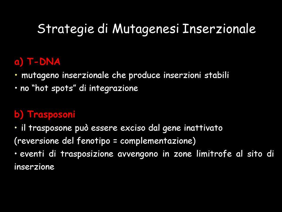 a) T-DNA mutageno inserzionale che produce inserzioni stabili no hot spots di integrazione Strategie di Mutagenesi Inserzionale b) Trasposoni il trasp