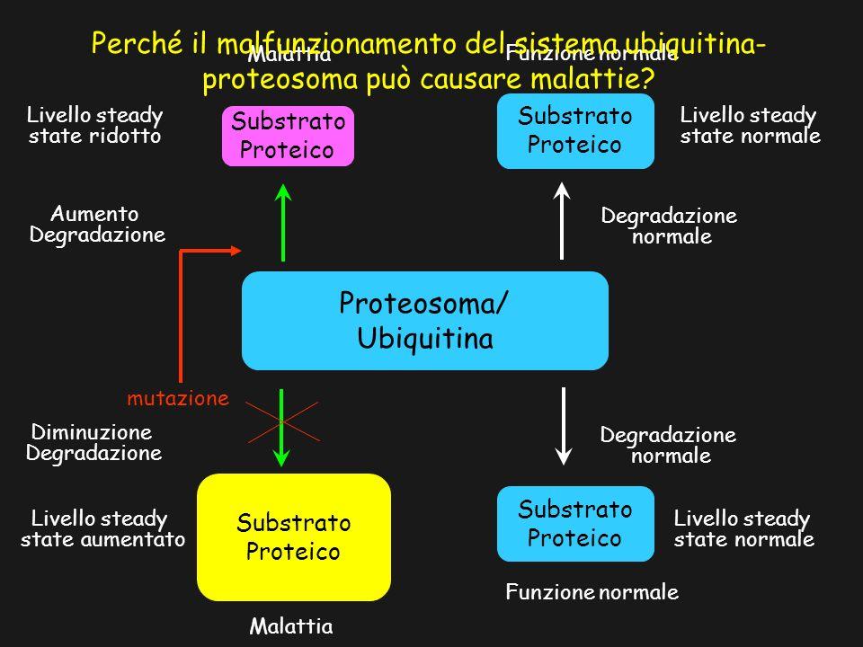 Proteosoma/ Ubiquitina Substrato Proteico Substrato Proteico Funzione normale Livello steady state normale Livello steady state normale Degradazione n