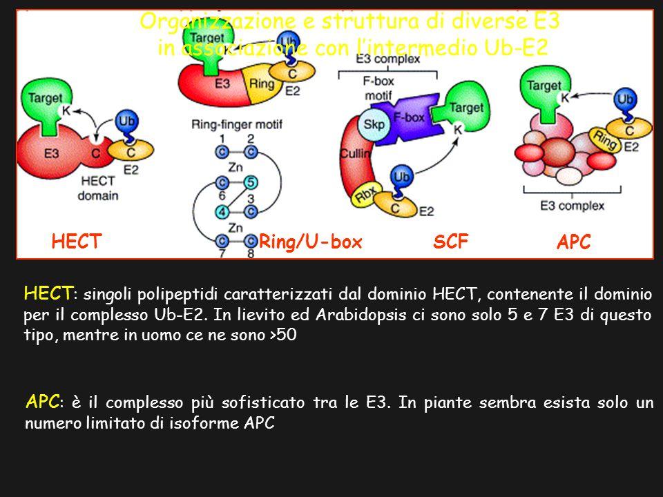 HECT Ring/U-box SCF APC Organizzazione e struttura di diverse E3 in associazione con lintermedio Ub-E2 HECT : singoli polipeptidi caratterizzati dal d