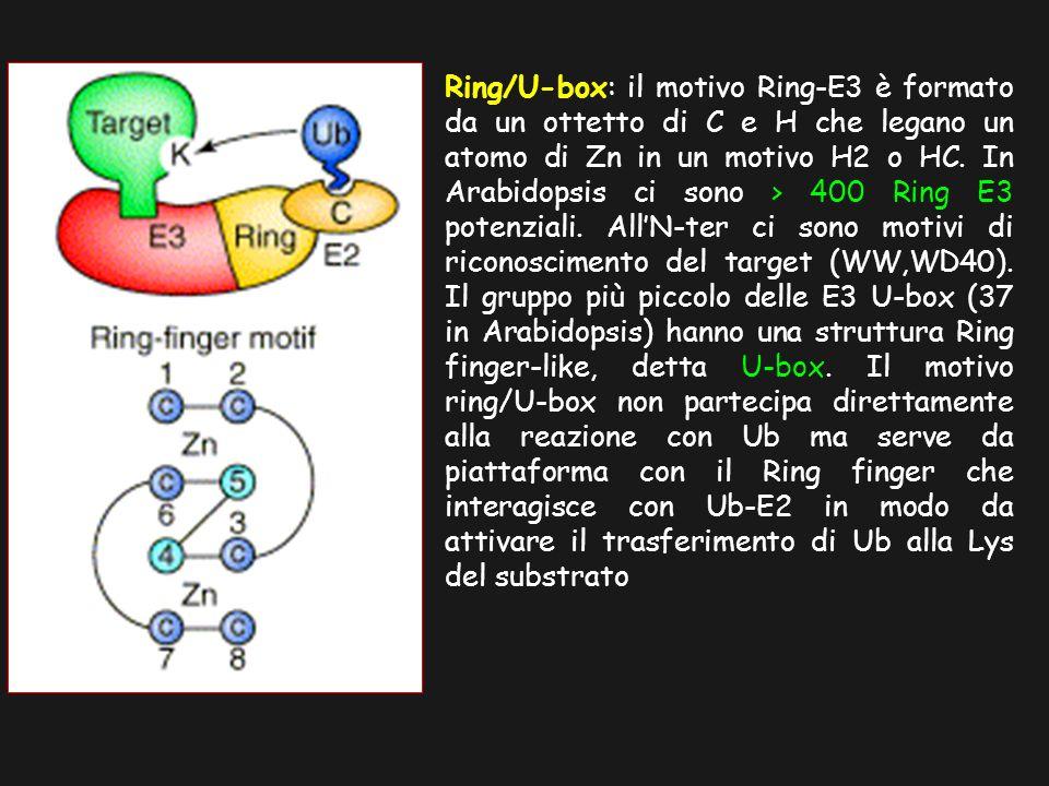 Ring/U-box: il motivo Ring-E3 è formato da un ottetto di C e H che legano un atomo di Zn in un motivo H2 o HC. In Arabidopsis ci sono > 400 Ring E3 po