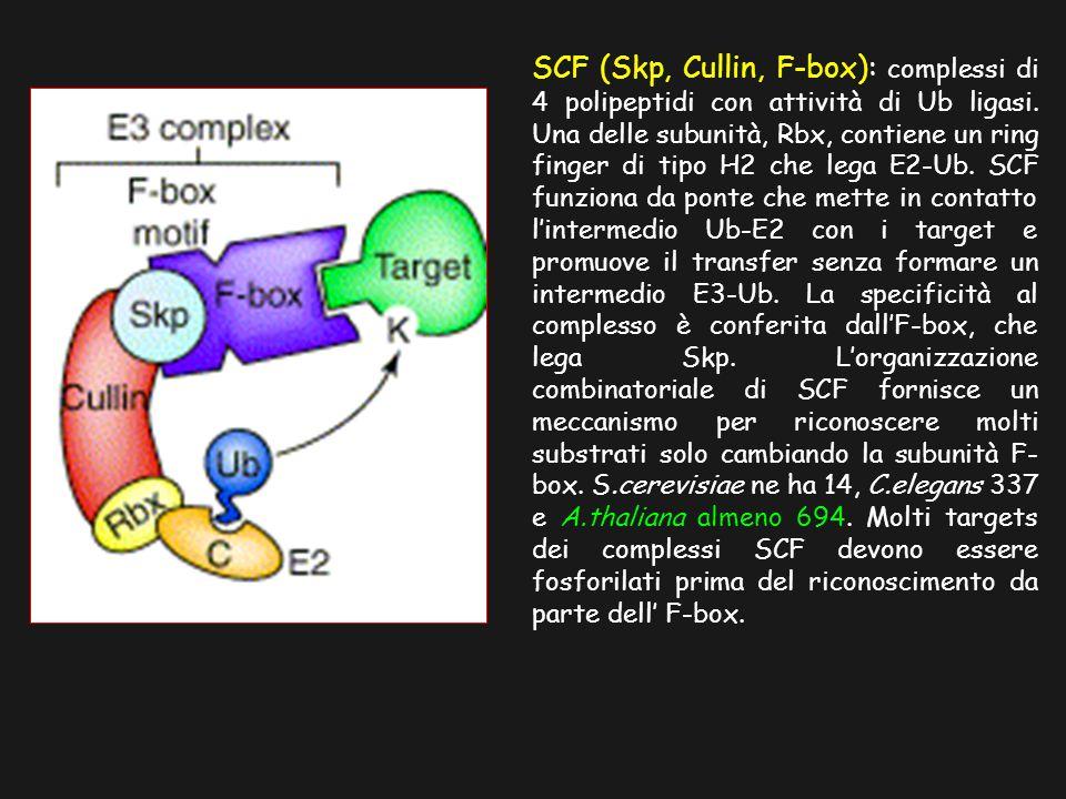 SCF (Skp, Cullin, F-box): complessi di 4 polipeptidi con attività di Ub ligasi. Una delle subunità, Rbx, contiene un ring finger di tipo H2 che lega E