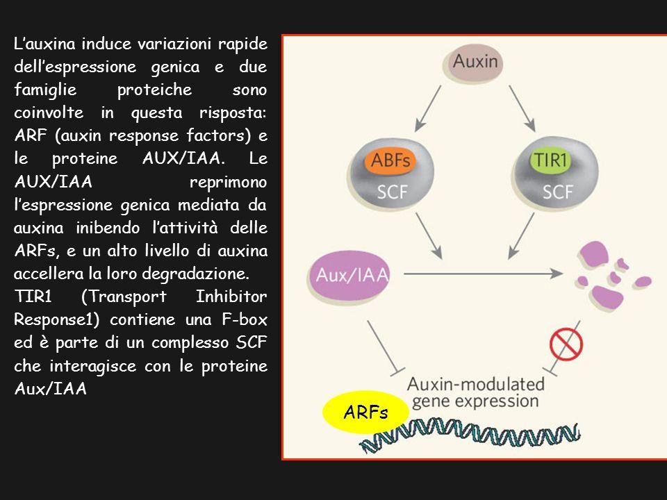 Lauxina induce variazioni rapide dellespressione genica e due famiglie proteiche sono coinvolte in questa risposta: ARF (auxin response factors) e le