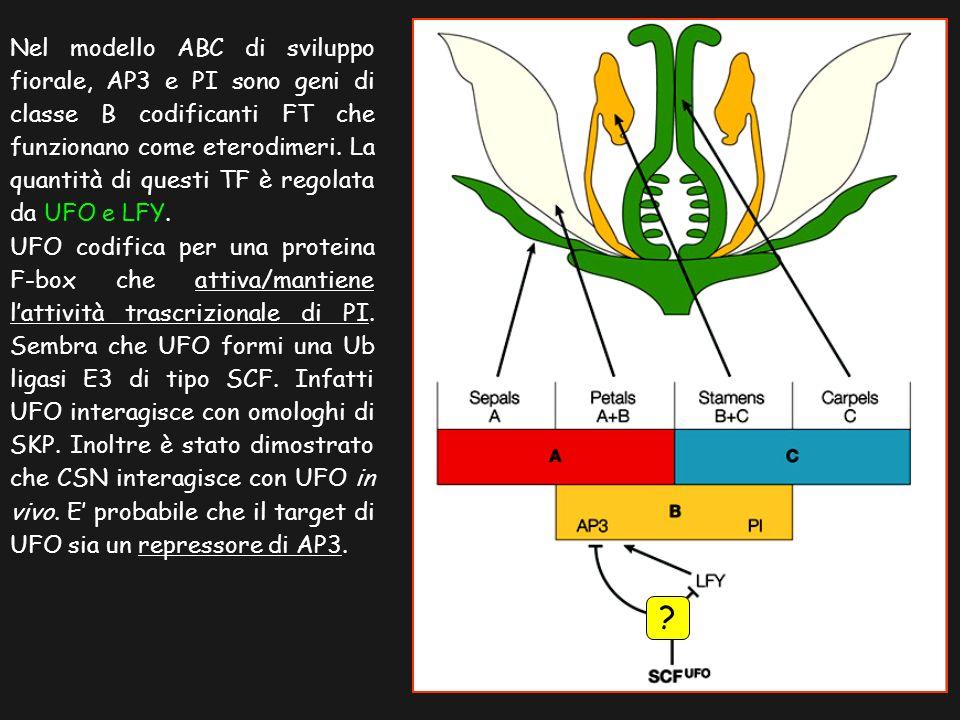 Nel modello ABC di sviluppo fiorale, AP3 e PI sono geni di classe B codificanti FT che funzionano come eterodimeri. La quantità di questi TF è regolat