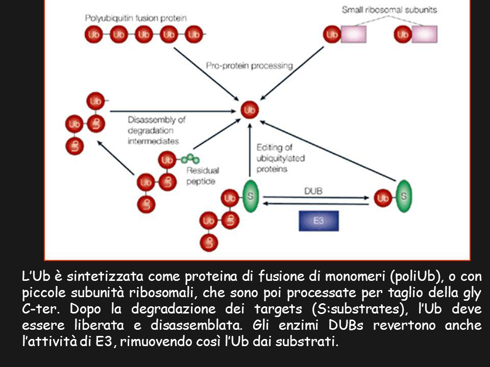 LUb è sintetizzata come proteina di fusione di monomeri (poliUb), o con piccole subunità ribosomali, che sono poi processate per taglio della gly C-te