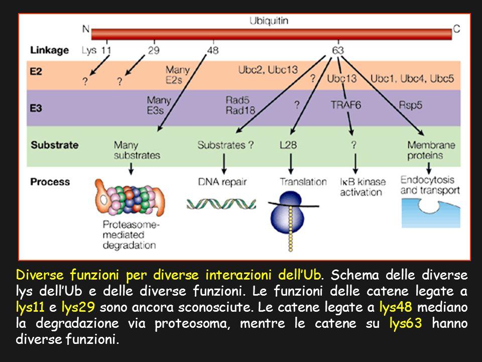 Diverse funzioni per diverse interazioni dellUb. Schema delle diverse lys dellUb e delle diverse funzioni. Le funzioni delle catene legate a lys11 e l