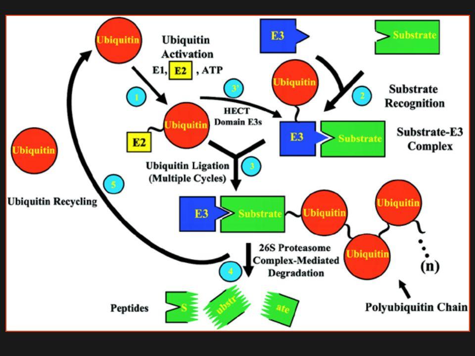 Il Proteosoma 26S è un complesso proteico di circa 700kDa isolato sia da nucleo che da citoplasma sia di piante che di animali In assenza di ATP, il complesso si dissocia in due subunità: Il complesso 20S proteasi core (CP) costituito da un cilindro formato da 4 anelli di 7 subunità e, contenente il dominio catalitico ATP-indipendente Il complesso regolativo 19S (RP), che può essere ulteriormente diviso in lid e base.