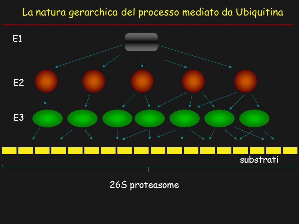 La natura gerarchica del processo mediato da Ubiquitina E3 E2 26S proteasome substrati E1