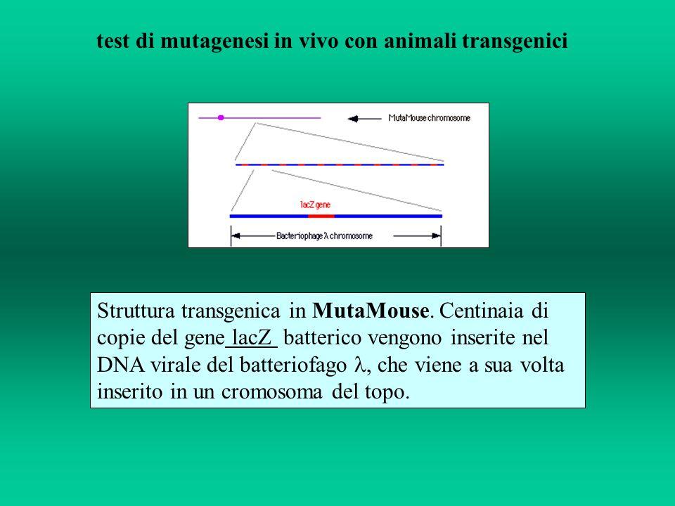 Struttura transgenica in MutaMouse. Centinaia di copie del gene lacZ batterico vengono inserite nel DNA virale del batteriofago, che viene a sua volta