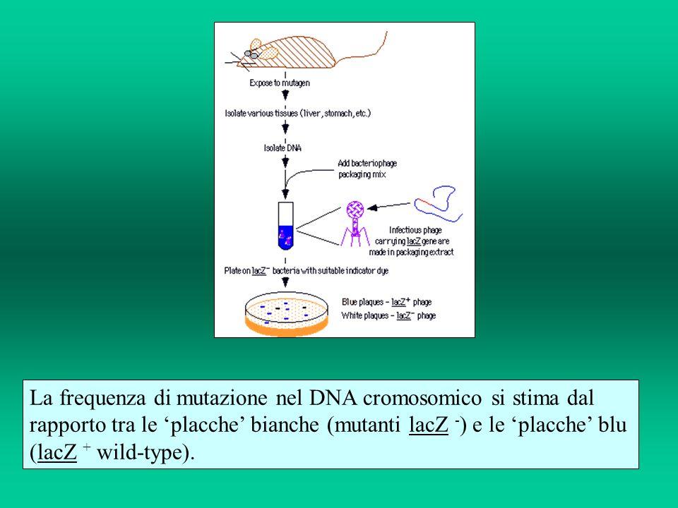 La frequenza di mutazione nel DNA cromosomico si stima dal rapporto tra le placche bianche (mutanti lacZ - ) e le placche blu (lacZ + wild-type).