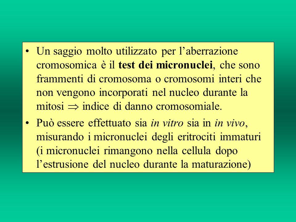 Un saggio molto utilizzato per laberrazione cromosomica è il test dei micronuclei, che sono frammenti di cromosoma o cromosomi interi che non vengono